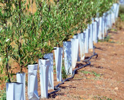 Nuevo cultivo olivo superintensivo